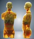 医学X线摄影定位用模拟人
