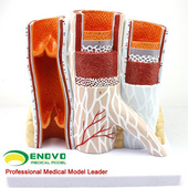 ENOVO頤諾人體血管模型動脈靜脈解剖放大模型動脈靜脈結構