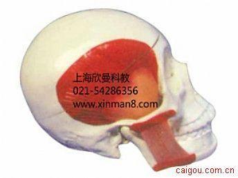 头颅骨附肌肉模型