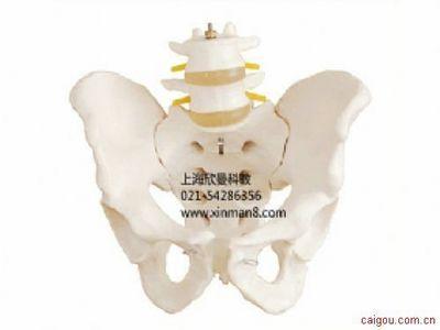 骨盆附腰椎模型