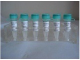 MHCI类链相关蛋白A/组织相容性复合物MHCIa抗体