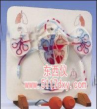 功能心脏和血液循环系统模型(德国3B)