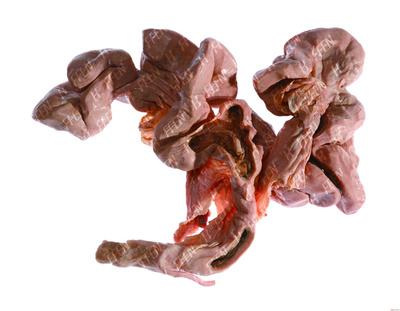 猪子宫塑化标本