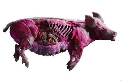 猪乳腺塑化标本