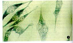 美国ATCC (人肺癌细胞株)A549