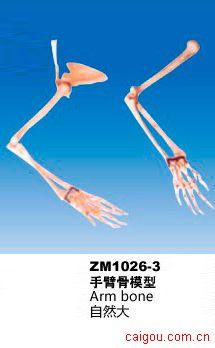 手臂骨模型