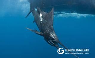 Argos哺乳类卫星追踪标记海豚记录仪