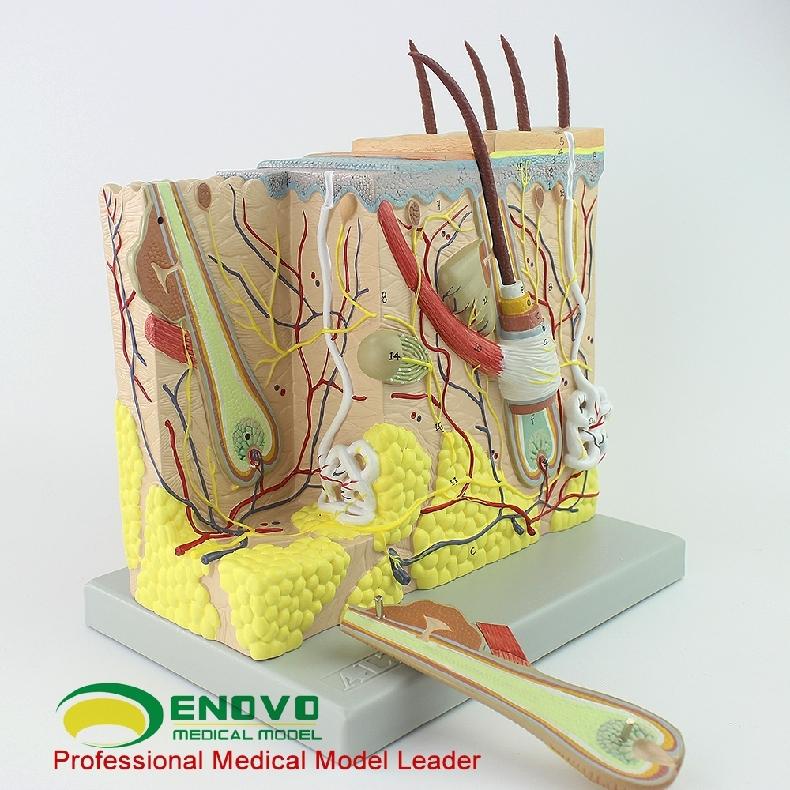 ENOVO颐诺放大人体皮肤解剖结构模型微创皮肤美容整形脸面部模型